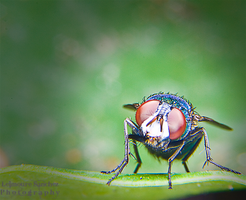 Housefly on the house 4 by lee-sutil