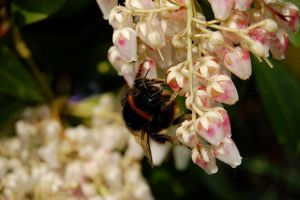 Bee on Pieris by umboody