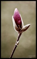 Antique Magnolia Blossom by Photo-Cap