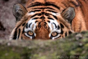 Tigress1 by brijome