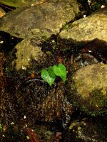 Ivy Rock by AquarianPhotography