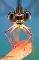 Damselfly from Colombia by ColinHuttonPhoto