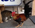 Cat And Rooster by FallOutWoman