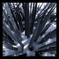 Snow Yucca by moonandsun