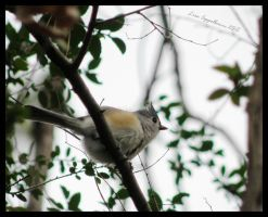 Tufted Titmouse by Cillana