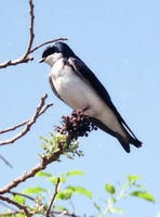 Tree Swallow by viperxmns