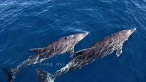 Dolphins Bow Riding by Oracle88