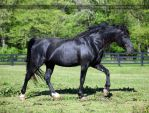 black stallion 1 by venomxbaby