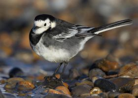 Pied Wagtail by Albi748