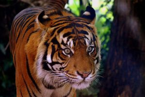 Sumatran tiger 2 by Topasdragon