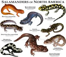 Salamanders of North America by rogerdhall
