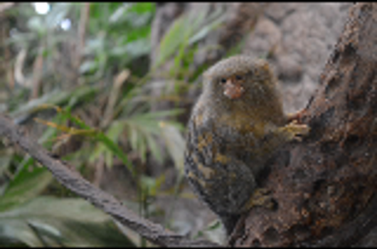 Pygmy Marmoset by AaronofShadowpack