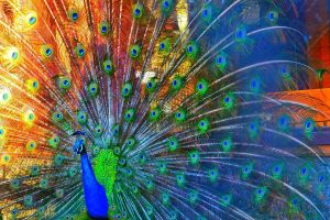 overly saturated rainbow peacock by Doctor-Honesty