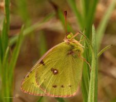 Clouded Sulphur Butterfly I by natureguy