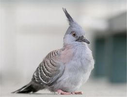 Crested Pigeon Chick by Firey-Sunset