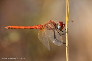 Male Sympetrum fonscolombii by joaomartins77
