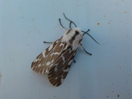 Light Ermine moth - Spilosoma canescens by Drhoz