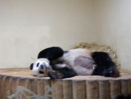 Edinburgh Zoo's Blurry Panda by CraigOxbrow