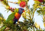 Rainbow Lorikeet Two by Okavanga