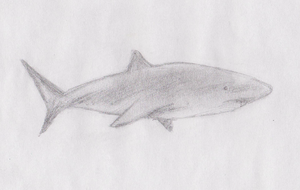Shark by iBoy98