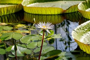 Water Lily VI by expression-stock