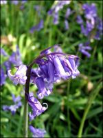 Bluebell by michaelpolom