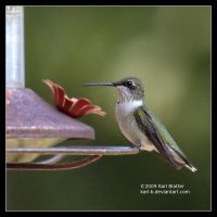 Humming Bird Perched by Karl-B