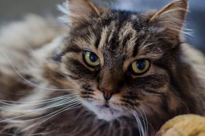 Norwegian forest cat 2 by Ainanas