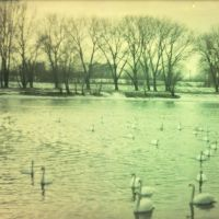 swans by wewe94