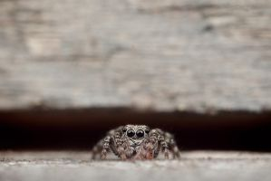 Jumping spider by laxative