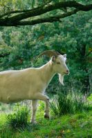 Goat by PenguinPhotography