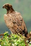 Martial Eagle Tsavo ii by GREYFading