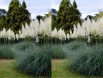 The Coombe Wood Pampas Grass In Flower In Stereo by aegiandyad
