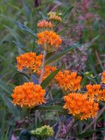Butterfly Weed by MadGardens