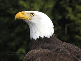 Bald Eagle 527 by caybeach