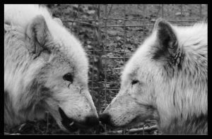 Kissing Wolfs in BW by miezbiez