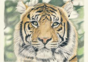The Tiger by kad-portraits