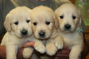 golden retirever puppy's by ilovemyperchron1997