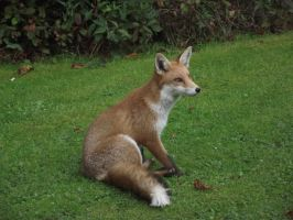 Sitting Fox by Copalinbeag