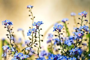 Forget Me Not by akrPhotography