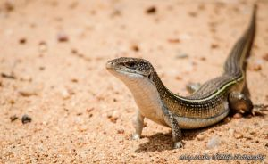 Lizard by AnneMarks
