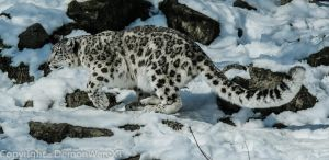 Snow Leopard on the proll by DemonWareXT