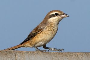 Sharpened claws - Brown shrike by Jamie-MacArthur