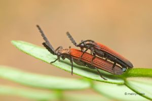Mating Net-Winged Beetle by melvynyeo