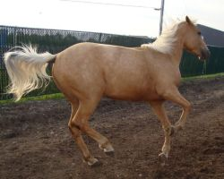 Palomino Filly Run by ChissyMay