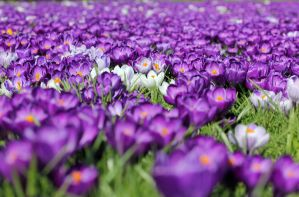 a few crocusses... by clochartist-photo