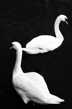 Swan Lake by vincesw