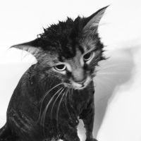 Maine Coon in the Bath - Square by wiebkefesch