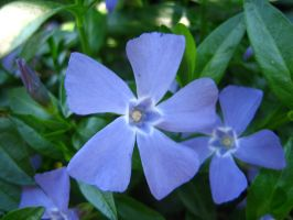 Periwinkle by Holly6669666