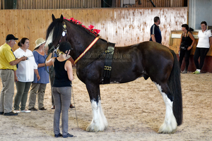 Clydesdale 0 by JullelinPhotography